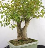 Bonsai Camellia japonica, nr. 5279