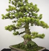 Bonsai Pinus penthaphylla, Japanse witte den, nr. 5299