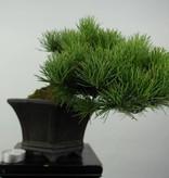 Bonsai Shohin Pinus parviflora, Japanse witte den, nr. 5398