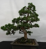 Bonsai Juniperus chinensis, Jeneverbes, nr. 5495