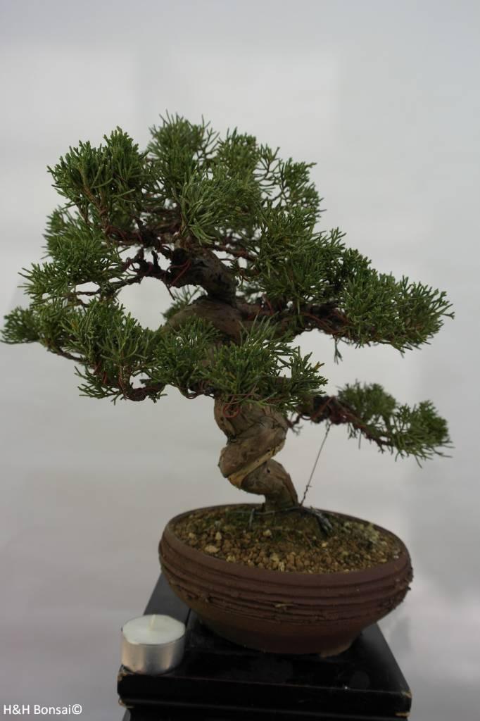Bonsai Juniperus chinensis, Jeneverbes, nr. 5498