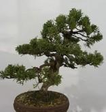 Bonsai Chin. Wacholder, Juniperus chinensis, nr. 5498