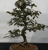 Bonsai Ölweide, Elaeagnus, nr. 5525
