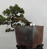 Bonsai Juniperus chinensis, Jeneverbes, nr. 5540