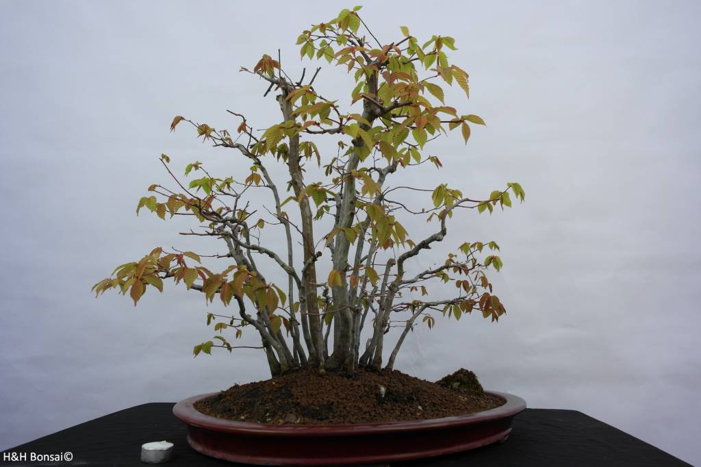 Bonsai Fagus sp., bossage, nr. 5574