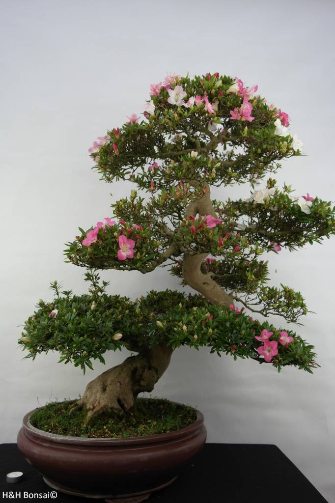 Bonsai Azalea Satsuki Azora, no. 5683