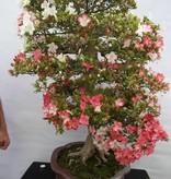 Bonsai Azalea Satsuki Kogetsu, no. 5685