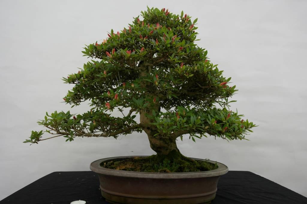 Bonsai Azalee Satsuki, Azalea SatsukiAkane, nr. 5400