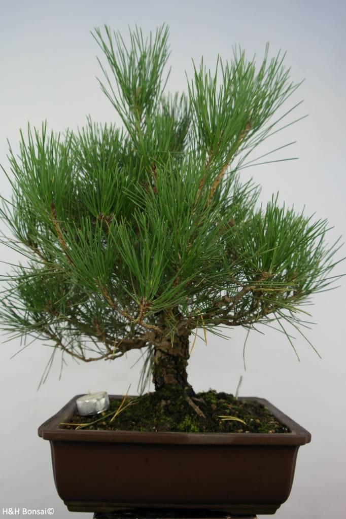 Bonsai Schwarzkiefer, Pinus thunbergii, nr. 5727