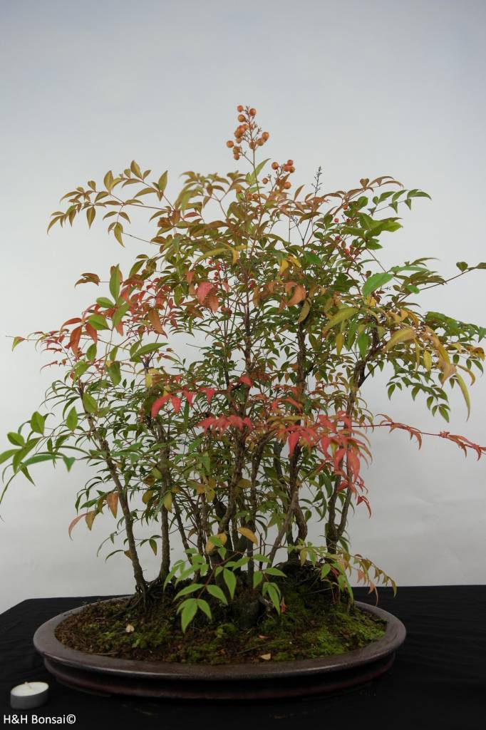 bonsai nandina domestica nr 5731. Black Bedroom Furniture Sets. Home Design Ideas