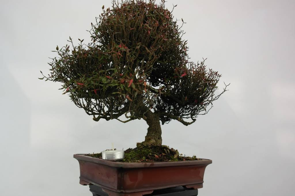 bonsai sternjasmin trachelospermum asiaticum nr 5107. Black Bedroom Furniture Sets. Home Design Ideas