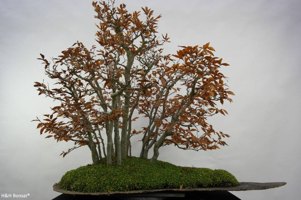 Bonsai Hêtre du Japon, Fagus crenata, no. 5785
