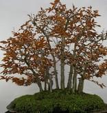 Bonsai Fagus crenata, Japanse beuk, nr. 5785