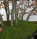 Bonsai Japanese beech, Fagus crenata, no. 5785