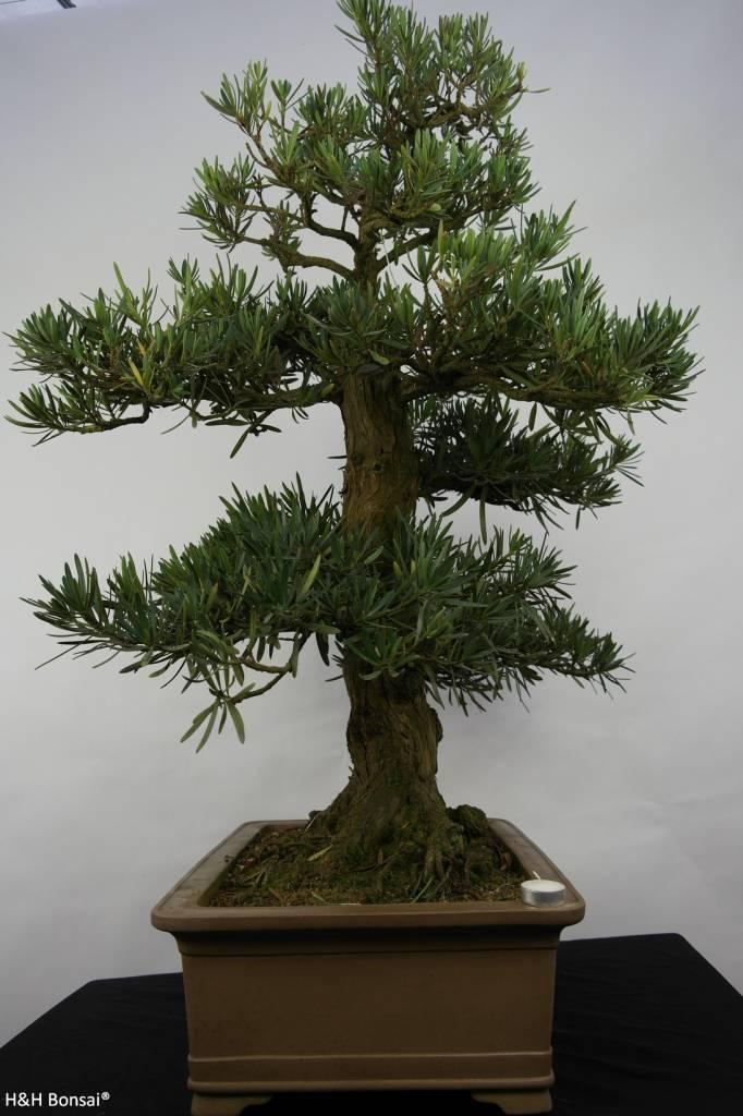 Bonsai Pin des Bouddhistes, Podocarpus, no. 5797