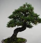 Bonsai Pinus thunbergii kotobuki, Japanse Zwarte den, nr. 5497