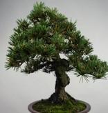 Bonsai Schwarzkiefer kotobuki, Pinus thunbergii kotobuki, nr. 5497