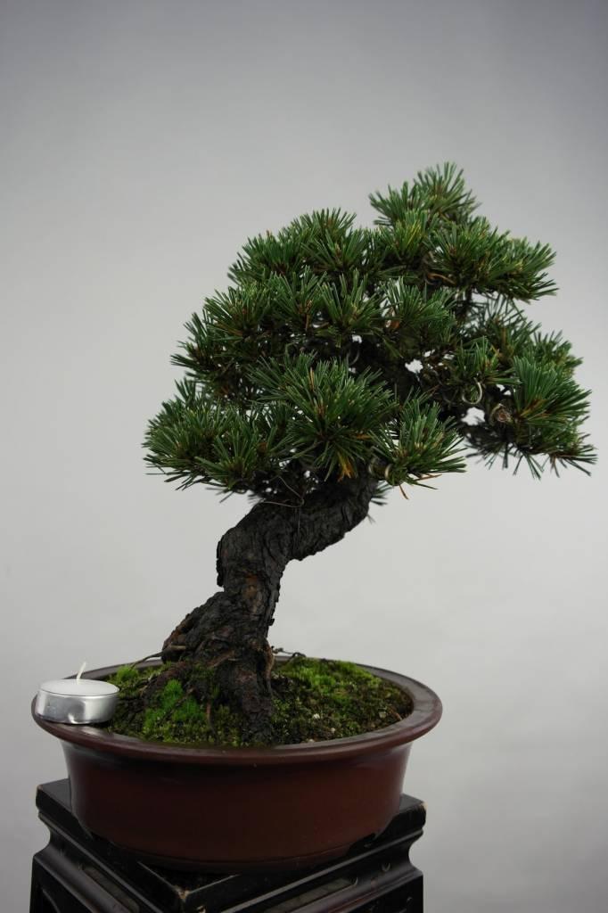 Bonsai Pin noir du Japon kotobuki, Pinus thunbergii kotobuki, no. 5497