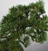 Bonsai Japanese Black Pine kotobuki, Pinus thunbergii kotobuki, no. 5497