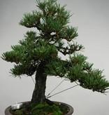 Bonsai Pin noir du Japon kotobuki, Pinus thunbergii kotobuki, no. 5494