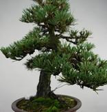 Bonsai Schwarzkiefer kotobuki, Pinus thunbergii kotobuki, nr. 5494