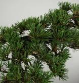 Bonsai Pin noir du Japon kotobuki, Pinus thunbergii kotobuki, no. 5496
