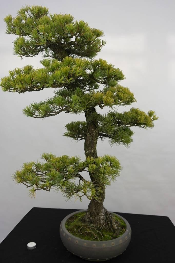 Bonsai Pinus penthaphylla, Japanse witte den, nr. 5182