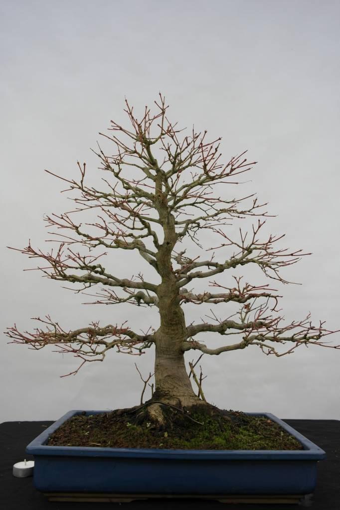 Bonsai Jap. Fächerahorn, Acer palmatum, nr. 5509