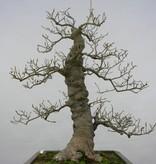 Bonsai Jap. Winterbeere, Ilex serrata, nr. 5133
