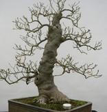 Bonsai Ilex serrata, nr. 5133