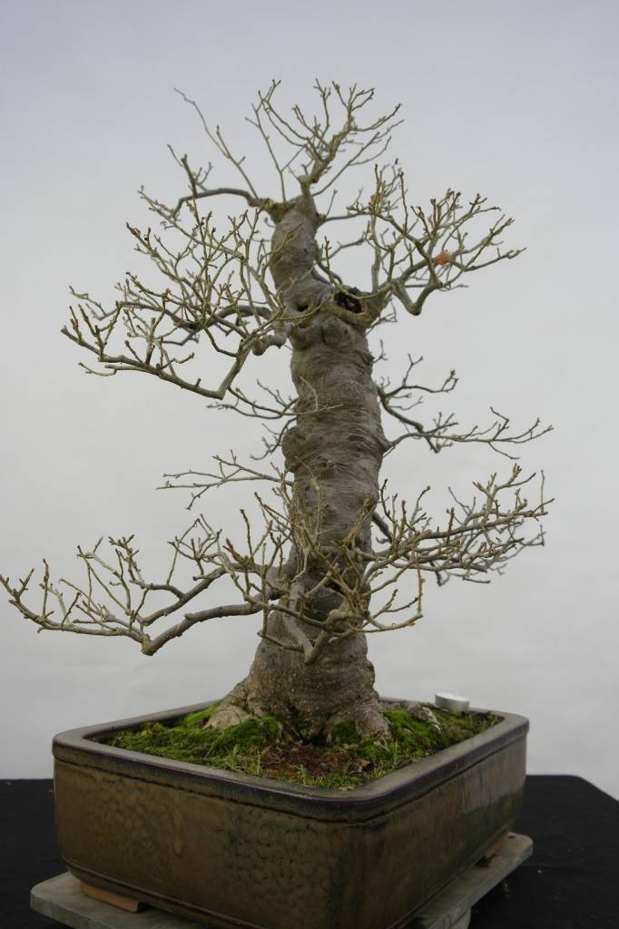 bonsai jap winterbeere ilex serrata nr 5133 www. Black Bedroom Furniture Sets. Home Design Ideas