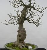 Bonsai Ilex serrata, nr. 5131