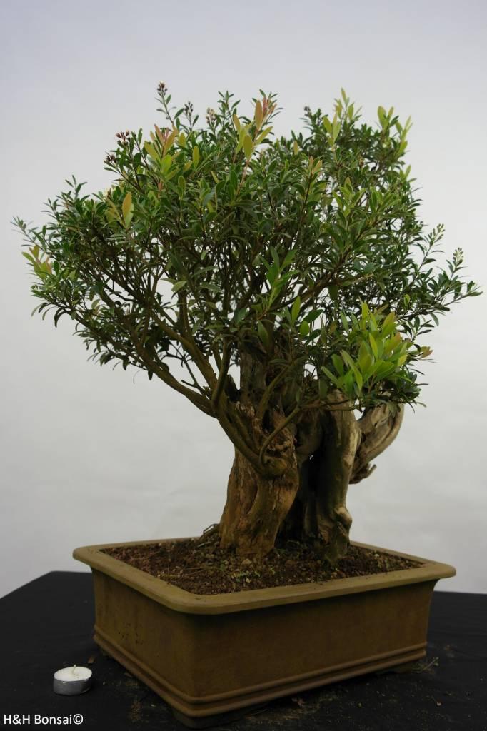 Bonsai Syzygium sp. , nr. 5828
