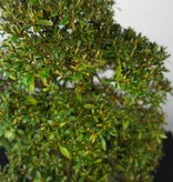 Bonsai Azalea Satsuki Kegon, nr. 5660