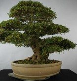 Bonsai Azalea Satsuki Kozan, nr. 5202