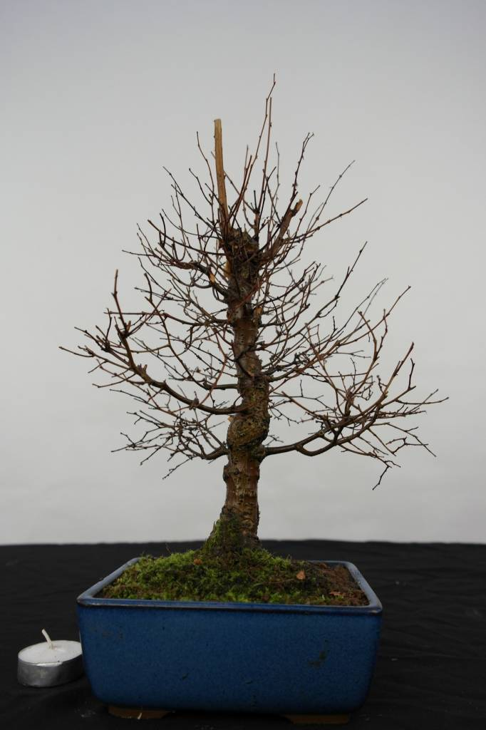 Bonsai Zelkova serrata, nr. 5563
