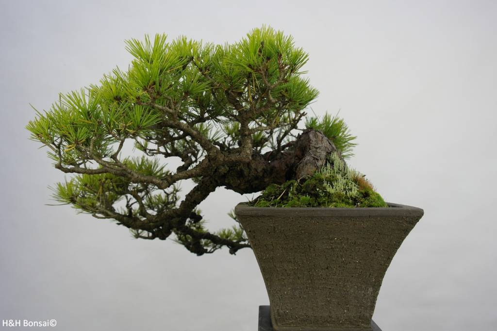 Bonsai Jap. Rotkiefer, Pinus densiflora, nr. 5837