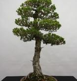 Bonsai Mädchenkiefer kokonoe, Pinus parviflora kokonoe, nr. 5839