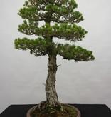 Bonsai Pinus parviflora kokonoe, Japanse witte den kokonoe, nr. 5839