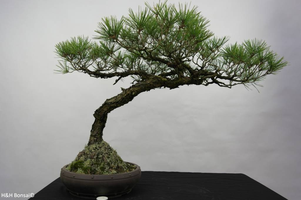 Bonsai Pin rouge du Japon, Pinus densiflora, no. 5840