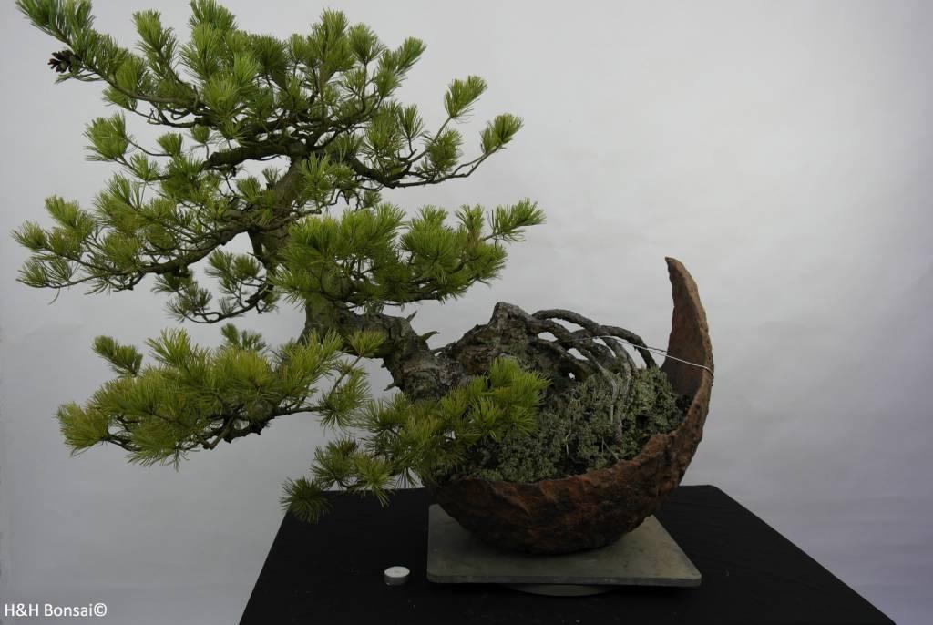 Bonsai Pinus penthaphylla, Japanse witte den, nr. 5841