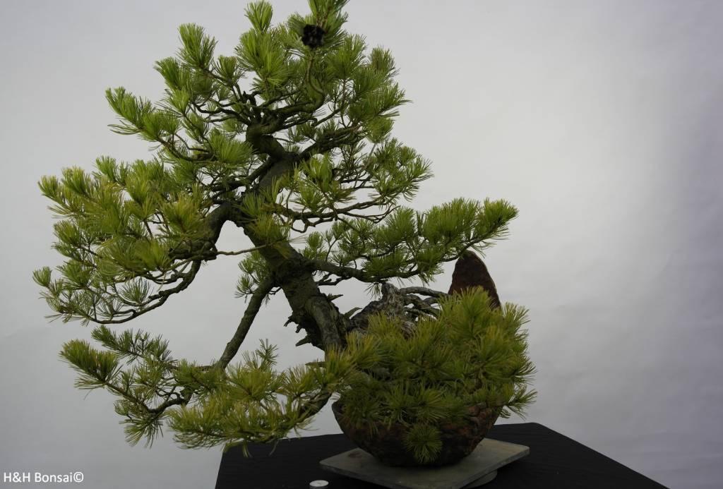 Bonsai Pin blanc du Japon, Pinus pentaphylla, no. 5841