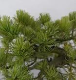 Bonsai Mädchenkiefer, Pinus penthaphylla, nr. 5841