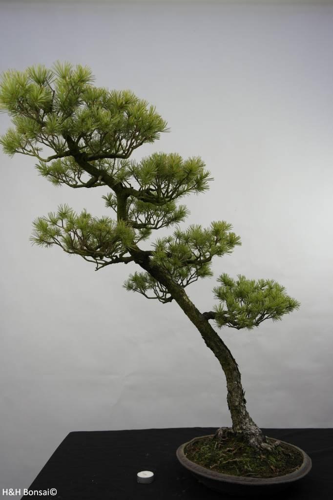 Bonsai Mädchenkiefer, Pinus penthaphylla, nr. 5842
