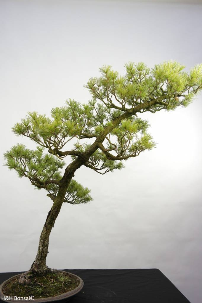 Bonsai Japanese White Pine, Pinus pentaphylla, no. 5842