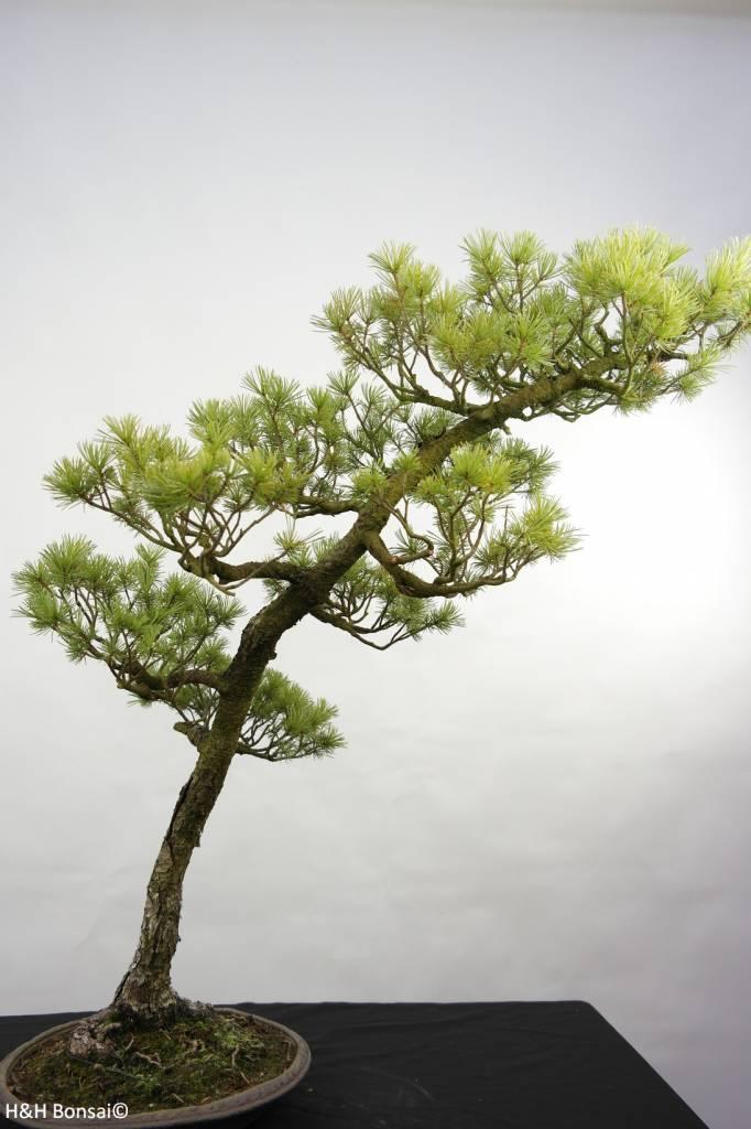 Bonsai Pinus penthaphylla, Japanse witte den, nr. 5842