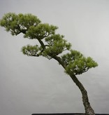Bonsai Pin blanc du Japon, Pinus pentaphylla, no. 5842