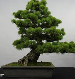 Bonsai Japanese White Pine, Pinus pentaphylla, no. 5843