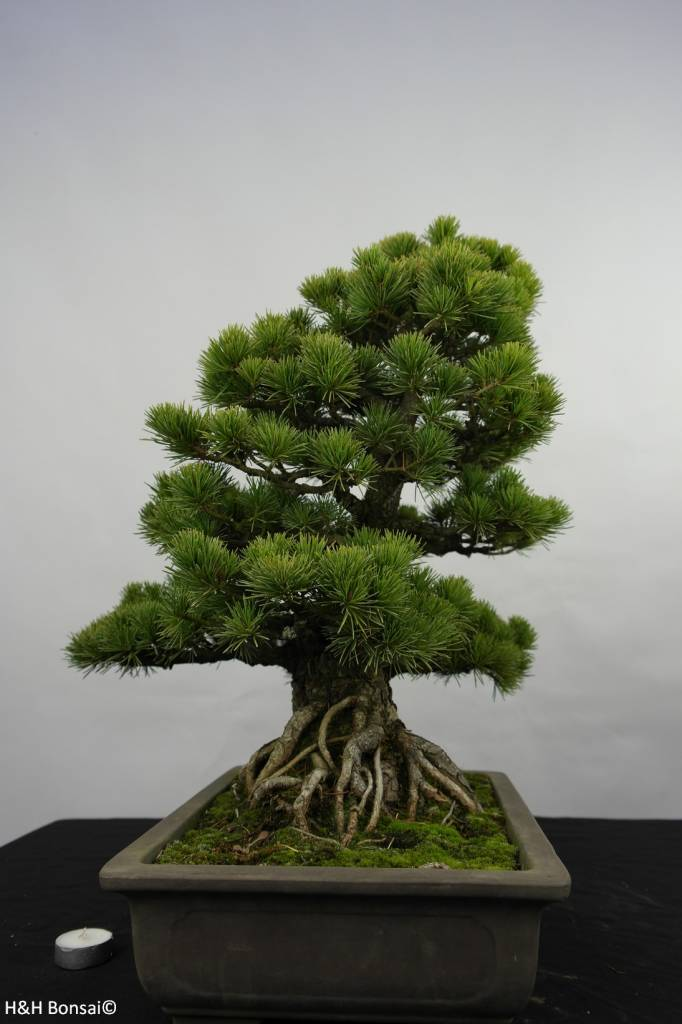 Bonsai Pin blanc du Japon, Pinus pentaphylla, no. 5843