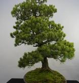 Bonsai Pinus penthaphylla, Japanse witte den, nr. 5844